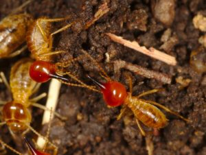 46 300x226 - Reasons to Hire a Professional for a Termite Problem
